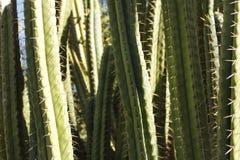 Zielona kaktusowa tekstura Zdjęcie Royalty Free