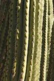 Zielona kaktusowa tekstura Fotografia Stock