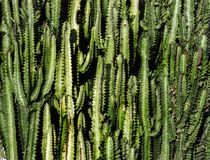Zielona kaktusowa tekstura w lecie Zdjęcia Royalty Free