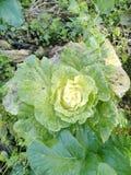 Zielona kapusta w jarzynowym ogródzie obraz royalty free