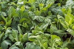 Zielona kapusta w warzywa gospodarstwie rolnym obrazy royalty free