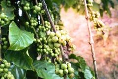 Zielona kawowa fasola na kawowym drzewie Obrazy Stock