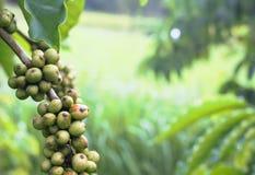 Zielona kawowa fasola na kawowym drzewie Fotografia Stock