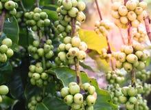 Zielona kawowa fasola na kawowym drzewie Obraz Stock