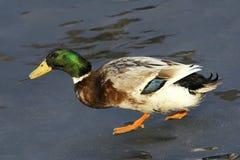 Zielona kierownicza kaczka obrazy royalty free