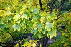 Zielona klonowa jesień Obrazy Royalty Free
