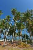 Zielona Kokosowa palma blisko wyrzucać na brzeg Zdjęcia Royalty Free