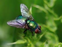 Zielona komarnica w makro- Obrazy Stock