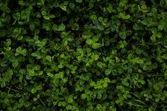 Zielona koniczyna, odgórny widok Liście, tło zdjęcie stock