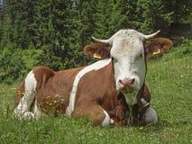 zielona krowy łąka Obrazy Royalty Free
