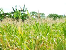 Zielona kukurudza, biznesy wytwarza doch?d, wliczaj?c Azjatyckich rolnik?w zdjęcia royalty free