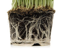 zielona kukurydza Obraz Royalty Free