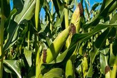 zielona kukurydza Zdjęcia Royalty Free