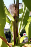 zielona kukurydza Obrazy Royalty Free