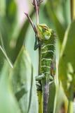 Zielona lasowa jaszczurka w Ella, Uva prowincja, Sri Lanka Obrazy Stock