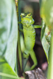 Zielona lasowa jaszczurka w Ella, Uva prowincja, Sri Lanka Obrazy Royalty Free