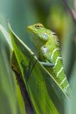 Zielona lasowa jaszczurka w Ella, Uva prowincja, Sri Lanka Zdjęcie Stock
