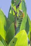 Zielona lasowa jaszczurka w Ella, Uva prowincja, Sri Lanka Zdjęcie Royalty Free