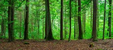 Zielona lasu krajobrazu panorama Zdjęcie Royalty Free