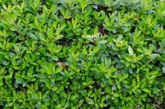 Zielona liść ściana Zdjęcie Stock