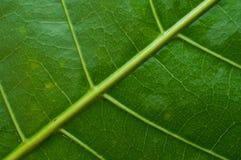 Zielona liść żyła Zdjęcia Stock