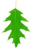 zielona liść dębu jeden rośliny tekstura Zdjęcie Royalty Free