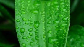 Zielona liść kropla woda po deszczu tło liścia zielona królowa Dracaenas Obrazy Royalty Free