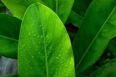 Zielona liść kropla wodny afrer deszcz w ranku Obrazy Royalty Free