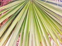 Zielona liść palma Zdjęcie Royalty Free