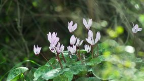 Zielona liść purpura kwitnie i spokojnie machający trawy zbiory