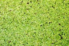 Zielona liść roślina wodna Zdjęcie Stock
