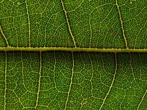 Zielona liść sieć Fotografia Royalty Free