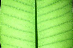 Zielona liść tekstura natura Fotografia Stock