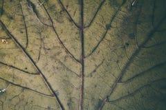 Zielona liść tekstura, tło i Makro- widok zielona liść tekstura wzór organicznych Abstrakcjonistyczna tekstura & tło dla projekta Zdjęcie Royalty Free