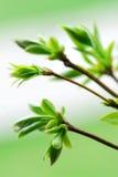 zielona liść wiosna Zdjęcia Stock