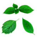 Zielona liść wiosny kolekcja odizolowywająca na białym tle Zdjęcie Stock