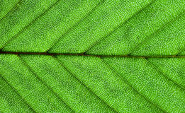 zielona liść powierzchnia Obrazy Stock
