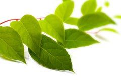 Zielona liany roślina na bielu obraz stock