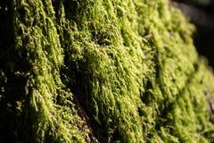 Zielona liszaj roślina zdjęcie royalty free