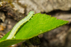 Zielona loopers larwa Zdjęcia Royalty Free