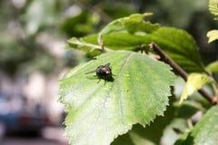 Zielona lustrzana komarnica na brzoza liściu Zdjęcia Stock