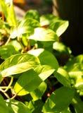 Zielona młoda cierpnięcie roślina obrazy royalty free