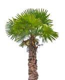 Zielona mała palma odizolowywająca na bielu zdjęcia royalty free