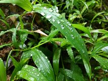 Zielona mała roślina w Srilanka Zdjęcia Royalty Free