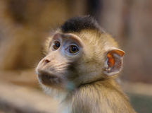 Zielona małpa (lisiątko) Obrazy Stock