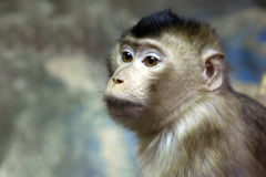 Zielona małpa Zdjęcie Royalty Free