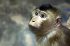 Zielona małpa Fotografia Royalty Free