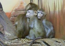 Zielona małpa Fotografia Stock