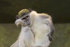 Zielona małpa Obrazy Royalty Free