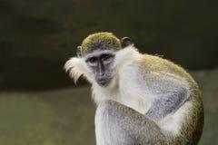 Zielona małpa Obrazy Stock
